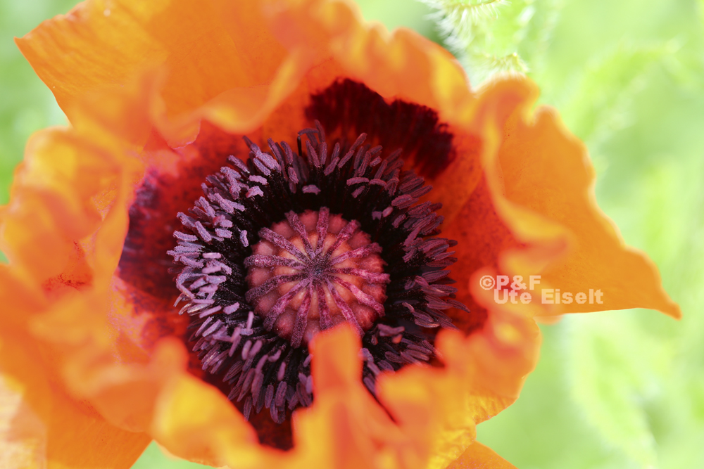 Mohn Flower Power
